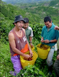 Farmers harvesting our San Roque coffee.