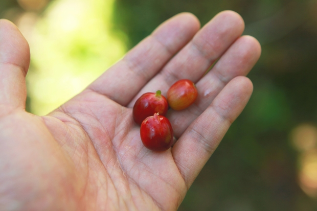 hand-cherry