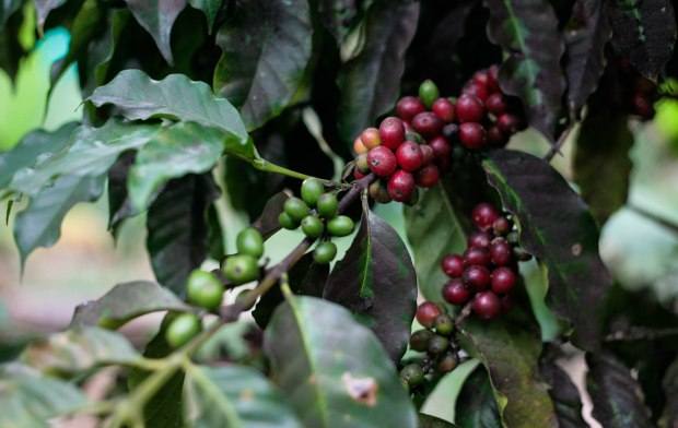 Haiti Coffee Cherries